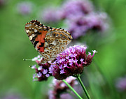Karen Adams Posters - American Painted Lady Butterfly Poster by Karen Adams