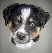 Border Pastels - Border Collie Dog Portrait by Olde Time  Mercantile