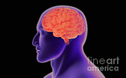 Human Body Parts Posters - Conceptual Image Of Human Brain Poster by Stocktrek Images