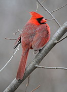 Ken Keener - Male Northern Cardinal