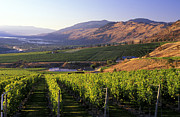 Oliver Row Crop Framed Prints - Okanagan Valley Vineyards Framed Print by Kevin Miller