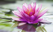Thai Framed Prints - Pink lotus Framed Print by Anek Suwannaphoom
