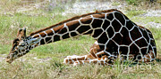 Jacksonville Framed Prints - Reticulated Giraffe Framed Print by Millard H. Sharp