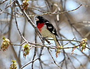 Lori Tordsen - Rose Breasted Grosbeak