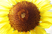 Closeup Photo Prints - Sunflower Print by Les Cunliffe
