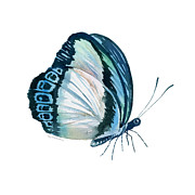 Watercolor. Butterfly Paintings - 101 Perched Danis Danis Butterfly by Amy Kirkpatrick