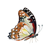 Orange And Black Butterfly Posters - 102 Perched White Lady Butterfly Poster by Amy Kirkpatrick