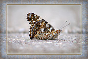 Karen Adams Metal Prints - American Painted Lady Butterfly Metal Print by Karen Adams