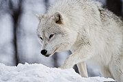 Arctic Wolf Photos - Arctic Wolf by Michael Cummings