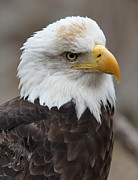 Ken Keener - Bald Eagle