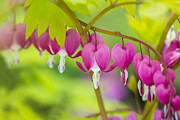 Gardening Photography Posters - Bleeding Heart - VanDusen Botanical Garden Poster by May L