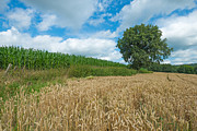 Limburg Photo Prints - Corn growing on a field in summer Print by Jan Marijs