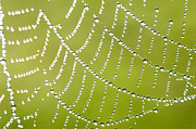Spiderweb Prints - Dew on Spiderweb  Print by Thomas R Fletcher