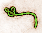 Science Source - TEM Ebola Virus