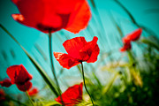 Blue Pyrography Prints - Poppy field and sky Print by Raimond Klavins