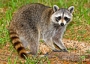 Raccoon Prints - Raccoon Print by Millard H. Sharp