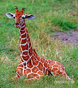 Jacksonville Prints - Reticulated Giraffe Print by Millard H. Sharp
