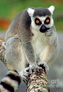 Lemur Sp Framed Prints - Ring Tailed Lemur Framed Print by Millard H. Sharp