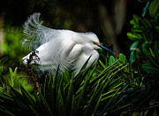 Snowy Egret Print by Bill Martin