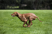 Vizsla Art - 111025p077 by Arterra Picture Library
