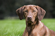 Vizsla Art - 111025p079 by Arterra Picture Library