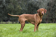 Vizsla Art - 111025p080 by Arterra Picture Library