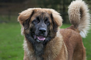 Leonberger Prints - 111216p268 Print by Arterra Picture Library