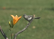Indiana Lily Posters - Tufted Titmouse Poster by Jack R Brock