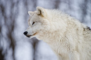 Canine Framed Prints - Arctic Wolf Framed Print by Michael Cummings