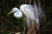 Paulette Thomas Photography Framed Prints - Great White Egret Framed Print by Paulette  Thomas