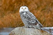 Birders Framed Prints - Snowy Owl  Framed Print by Paul OToole