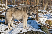 Canine Photos - Timber Wolf by Michael Cummings