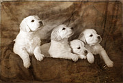 Puppies Photo Framed Prints - Vintage festive puppies Framed Print by Angel  Tarantella