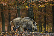 Boars Framed Prints - 121213p284 Framed Print by Arterra Picture Library