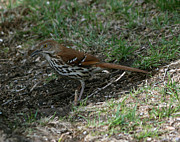Lori Tordsen - Brown Thrasher