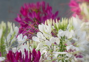 Cleome  Print by France Laliberte