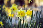 Tiny Leaves Prints - Daffodils - Narcissus - VanDusen Botanical Garden Print by May L