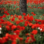 Outdoors Framed Prints - Field of poppies Framed Print by Bernard Jaubert