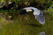 Dan Ferrin - Great Blue Heron
