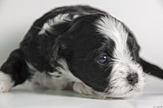 Cute Havanese Prints - Havanese Puppy Print by Stonington Bay