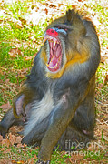 Mandrill Prints - Mandrill Print by Millard H. Sharp