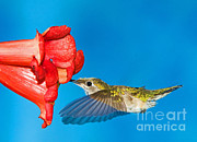 North American Wildlife Posters - Ruby Throated Hummingbird Female Poster by Millard H. Sharp