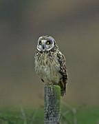 Short Eared Owl Print by Paul Scoullar