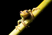 Rainforest Posters - Tree Frog Poster by Dirk Ercken