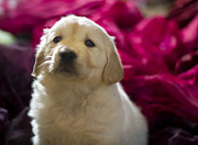 Golden Retriever Puppy Print by Angel  Tarantella