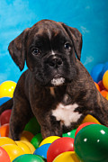 Ball Room Posters - little Boxer dog puppy Poster by Doreen Zorn