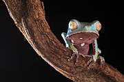 Morph Photo Posters - Tree Frog Poster by Dirk Ercken