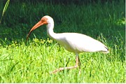 My Back Yard Prints - White Ibis Print by Robert Floyd