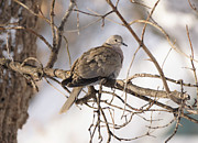 Lori Tordsen - Euarsian Collard Dove