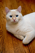 Animal Eyes Posters - Flame Point Siamese Cat Poster by Amy Cicconi